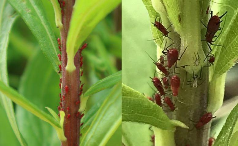 セイタカアワダチソウヒゲナガアブラムシ(Uroleucon nigrotuberculatum)