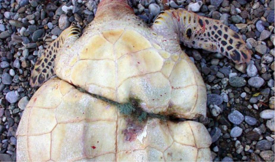 Sea turtle who was bound by fishing net